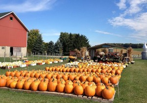 Busy Barns pumpkin field