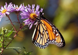 Monarch butterfly sitting on purple flower