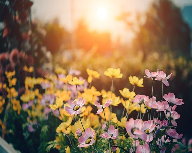 Field of multicolored flowers with sun burst in background