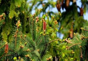 Classic Conifers